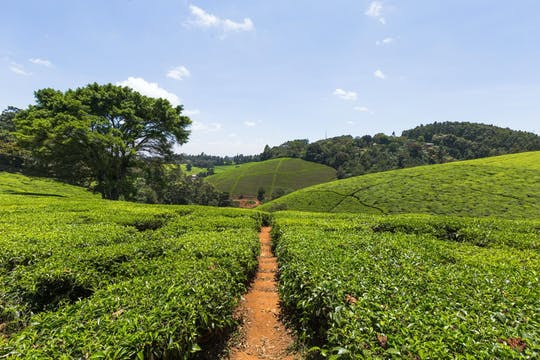 Kiembethu Tea Farm tour from Nairobi