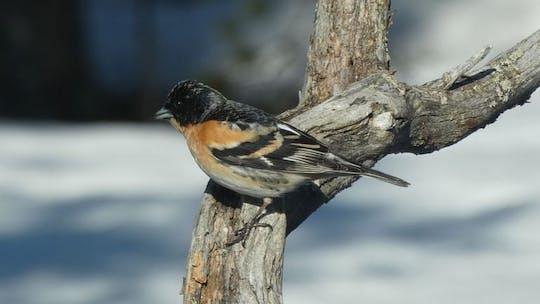 Passeio de pássaro de inverno em Inari