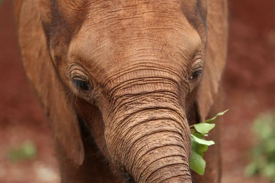 Visite d'une demi-journée du David Sheldrick Wildlife Trust