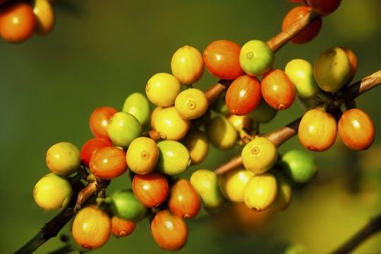 Karunguru Coffee Farm tour from Nairobi