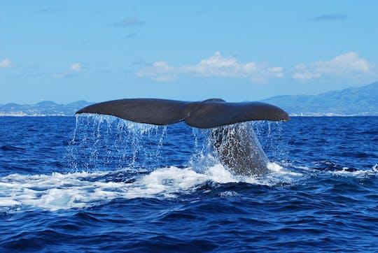 Passeio de observação de baleias e golfinhos saindo de São Miguel