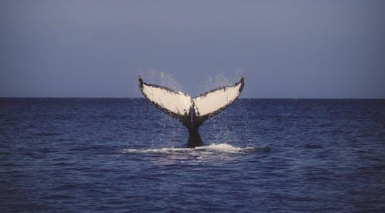 Odkryj obserwację wielorybów Waikiki w Honolulu