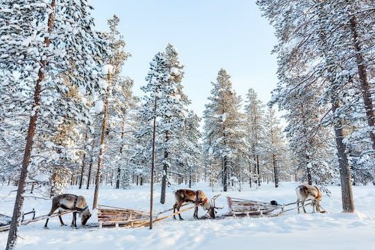 Guided reindeer experience in Levi