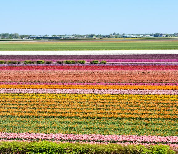 Guided tour of Keukenhof and flowerfields from the Hague-0