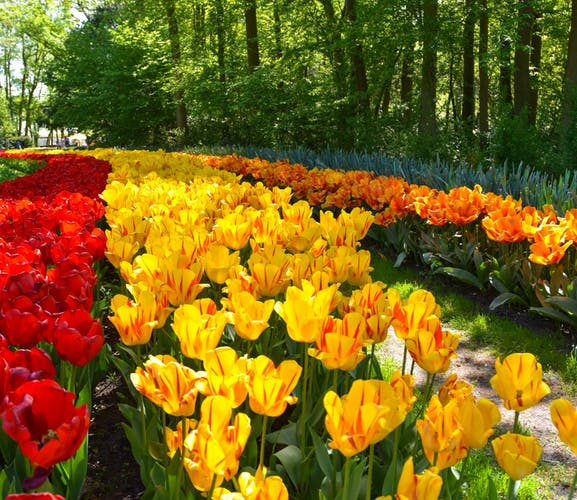 Guided tour of Keukenhof and flowerfields from the Hague-2